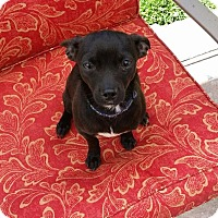 Adopt A Pet :: Bullet - Lodi, CA