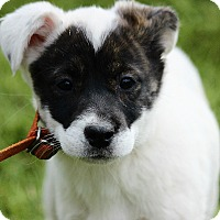 Adopt A Pet :: Tilly - Spring Valley, NY