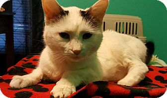 Domestic Shorthair Cat for adoption in South Bend, Indiana - Bella Boop