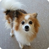 Pomeranian Dog for adoption in Norman, Oklahoma - Maizie Blue