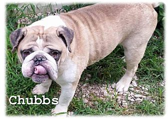 English Bulldog Dog for adoption in Decatur, Illinois - Chubbs