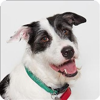 Border Collie/Terrier (Unknown Type, Medium) Mix Dog for adoption in San Luis Obispo, California - Sprite