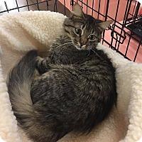 Domestic Mediumhair Cat for adoption in Hesperia, California - Cleocatra