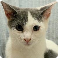 Adopt A Pet :: Kaleesi --- $50.00 - cupertino, CA