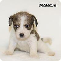 Adopt A Pet :: Nathaniel - Shamokin, PA