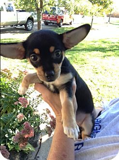 Dachshund/Chihuahua Mix Puppy for adoption in Ashville, Ohio - Bell