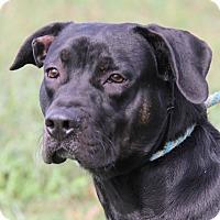 Labrador Retriever Mix Dog for adoption in Marietta, Ohio - Buddy (Neutered)