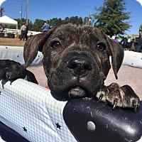 Adopt A Pet :: Monkey - CUMMING, GA