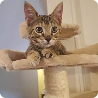 Manx Cat for adoption in Brookhaven, Mississippi - Baby Kitty