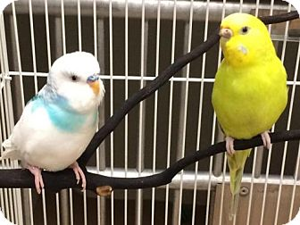 Parakeet - Other for adoption in Boston, Massachusetts - DAISY