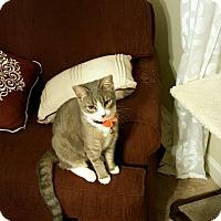 Domestic Shorthair Kitten for adoption in Richmond, Virginia - Molly