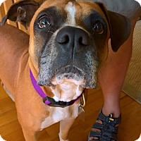 Boxer Dog for adoption in Wilmington, North Carolina - Lizzy