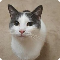 Domestic Shorthair Cat for adoption in Wichita, Kansas - Bernardo