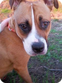 Boxer Mix Dog for adoption in Mission Viejo, California - Chile
