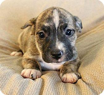 Shih Tzu/Terrier (Unknown Type, Medium) Mix Puppy for adoption in Los Banos, California - Glory