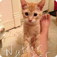 Adopt A Pet :: Nutter Butter - Wichita Falls, TX