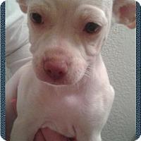 Adopt A Pet :: Snow - Lodi, CA
