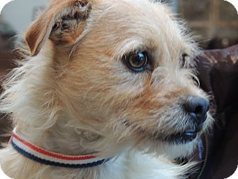Wirehaired Fox Terrier/Dachshund Mix Dog for adoption in Harrisonburg, Virginia - Keegan