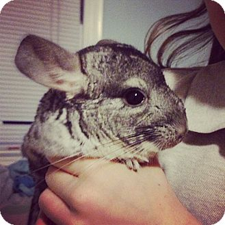 Chinchilla for adoption in Pittsburgh, Pennsylvania - Willow