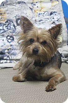 Yorkie, Yorkshire Terrier Dog for adoption in Wytheville, Virginia - Skeet