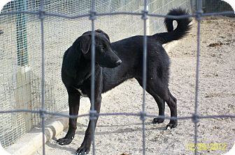 Labrador Retriever/Retriever (Unknown Type) Mix Dog for adoption in Mexia, Texas - Honolulu