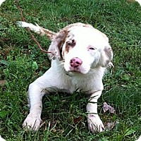 Adopt A Pet :: Avion - Maysel, WV