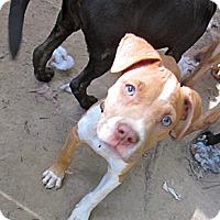 Adopt A Pet :: Macy - New orleans, LA