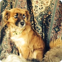 Sheltie, Shetland Sheepdog/Pomeranian Mix Dog for adoption in Ripon, California - Buddy