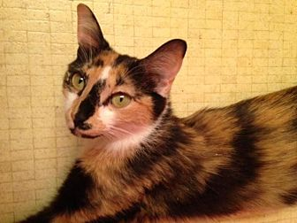 Calico Cat for adoption in Smyrna, Georgia - Minnow