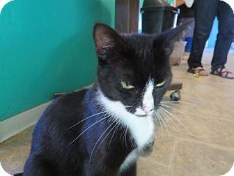 Coos Bay Or Domestic Shorthair Meet Jordan A Cat For Adoption