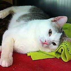 Photo 3 - Domestic Shorthair Cat for adoption in Kansas City, Missouri - Tilt