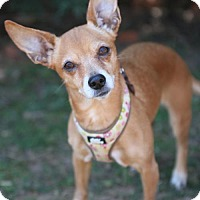 Chihuahua Mix Dog for adoption in Atlanta, Georgia - ChiChi