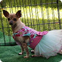Chihuahua/Xoloitzcuintle/Mexican Hairless Mix Dog for adoption in Fountain Valley, California - Cindy