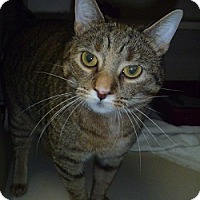 Domestic Shorthair Cat for adoption in Hamburg, New York - Rae Ann