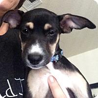 Adopt A Pet :: Primm formerly Zima - Las Vegas, NV