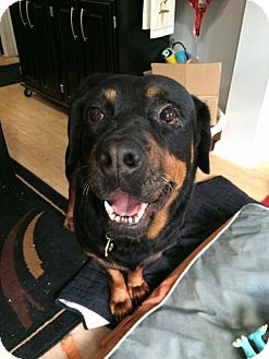 Rottweiler Dog for adoption in Sayville, New York - Jessie