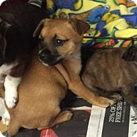 Adopt A Pet :: Boston Terrier/ Min Pin Mix puppies Coming Soon - Pottstown, PA