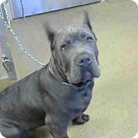 Adopt A Pet :: *CANE - Sacramento, CA
