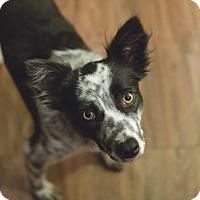 Adopt A Pet :: Plato - Allen, TX
