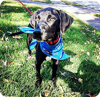 Labrador Retriever Mix Puppy for adoption in Chicago, Illinois - Rudy