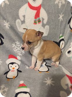 Miniature Pinscher/Chihuahua Mix Puppy for adoption in Hazard, Kentucky - Margo