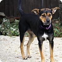 Adopt A Pet :: Yodie - San Antonio, TX