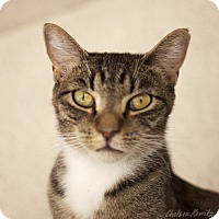 Domestic Shorthair Cat for adoption in Canyon Country, California - Kiwi