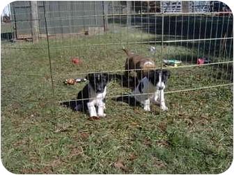 Border Collie/Labrador Retriever Mix Puppy for adoption in Cairo, Georgia - pups 123