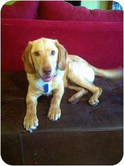 Labrador Retriever/Hound (Unknown Type) Mix Puppy for adoption in Arlington, Texas - Ranger