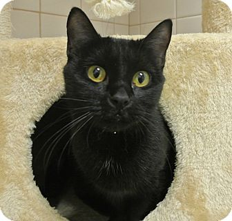 Burmese Cat for adoption in white settlment, Texas - Missy