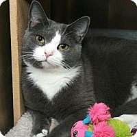 Domestic Shorthair Cat for adoption in Fairfax Station, Virginia - Luci