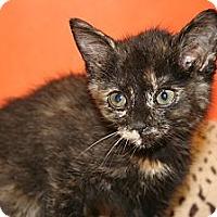 Adopt A Pet :: CELESTE - SILVER SPRING, MD