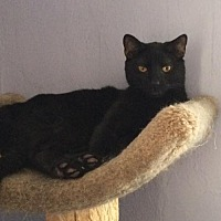 Domestic Mediumhair Cat for adoption in East Stroudsburg, Pennsylvania - Eight Ball