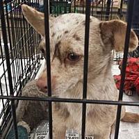 Adopt A Pet :: Mocha - Fresno, CA